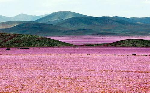 Quand le désert le plus aride du monde se met à fleurir
