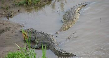 Des crocodiles aperçus sous un pont non loin de Puntarenas