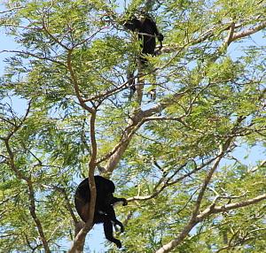 Le parc national Palo Verde renferme de nombreuses espèces, dont des singes hurleurs et des crocodiles.