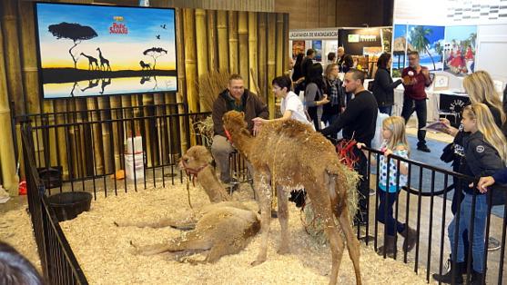 Les adorables bébés dromadaires du Parc Safari d'hemmingford ont fait crquer le public.