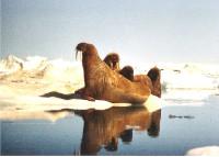 L'Arctique fond. Les ours polaires sans logis en 2070