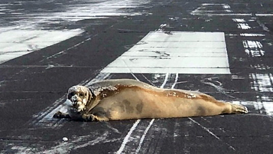 Un phoque se prélasse sur une piste d'aéroport