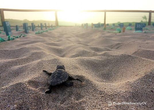 Le Cap-Vert enregistre en 2020 un record historique de nids de tortue